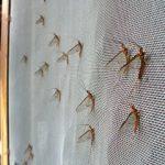 mayflies-1